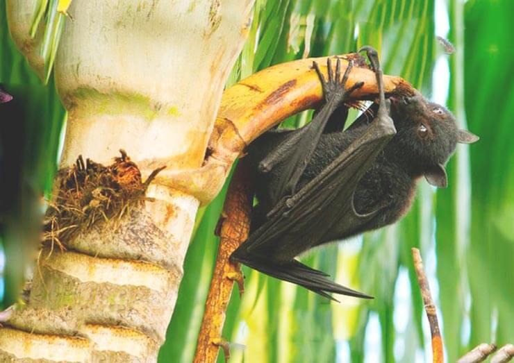 Питание индийской летучей лисицы