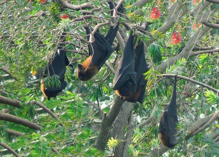 Стая индийских летучих лисиц