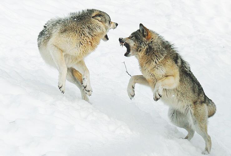 Битва канадских волков