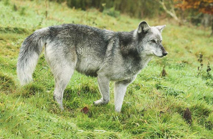 Охота канадского волка