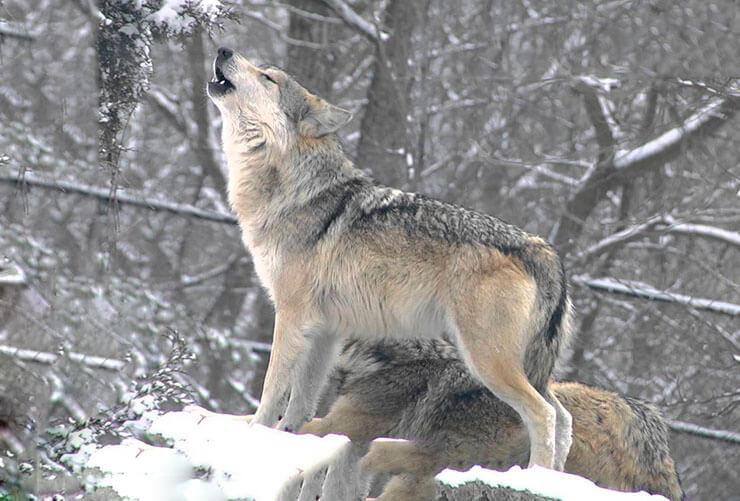 Вой канадского волка
