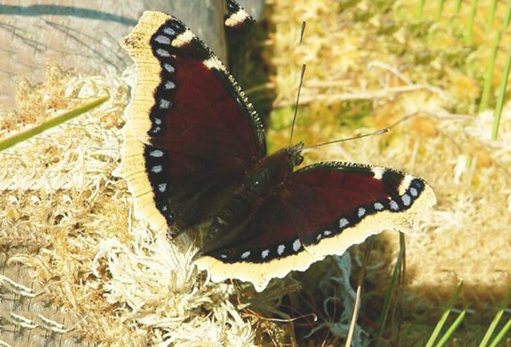 Фото бабочки траурницы