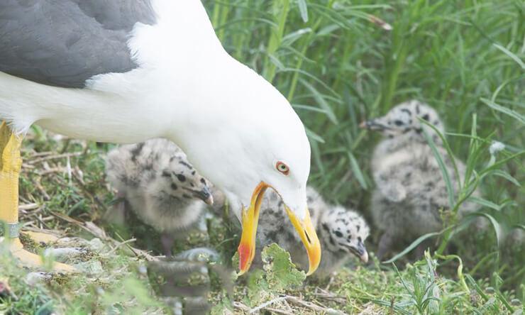 Птенцы клуши получают корм