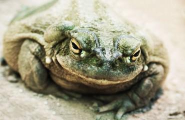Галлюциногенная колорадская жаба