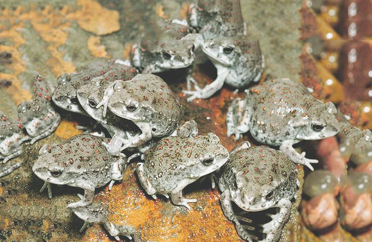 Маленькие колорадские жабы