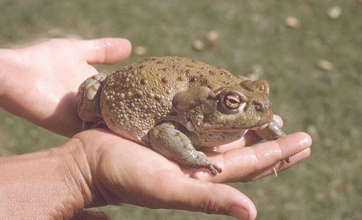 Колорадская жаба фото