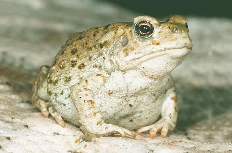Изображение колорадской жабы