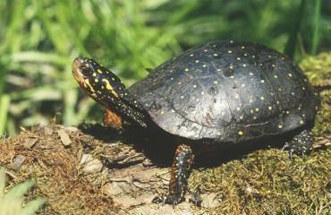 Плямиста черепаха