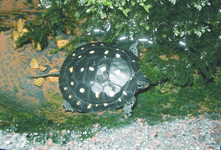 Ручей с пятнистой черепахой