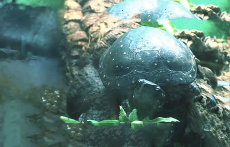 Аквариум с пятнистой черепахой