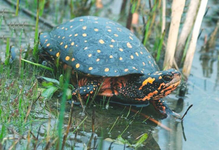 Пятнистая черепаха фото