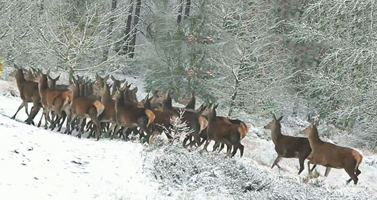 Стадо сибирской кабарги