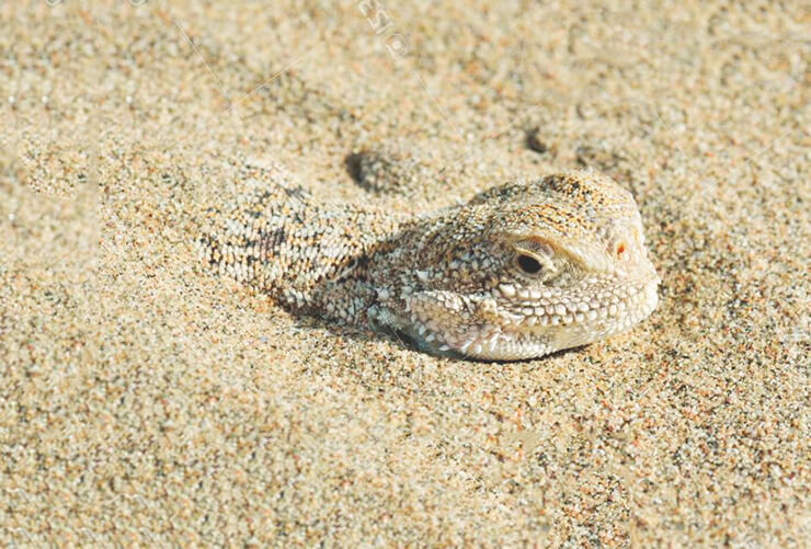 Ушастая круглоголовка в песке