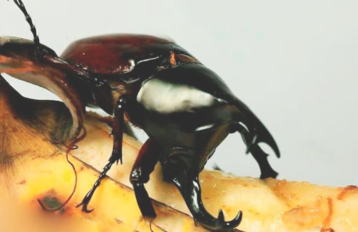 Обед жука-геркулеса