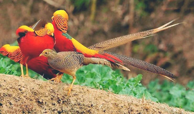 Группа золотых фазанов
