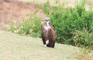 Африканский ушастый гриф