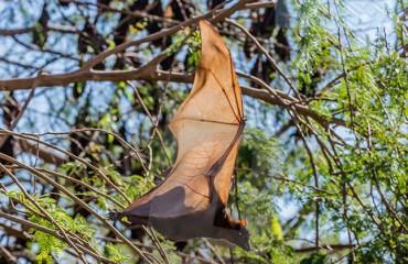Австралийская летучая лисица
