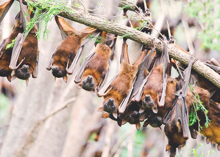 Фото лисиц австралийских летучих