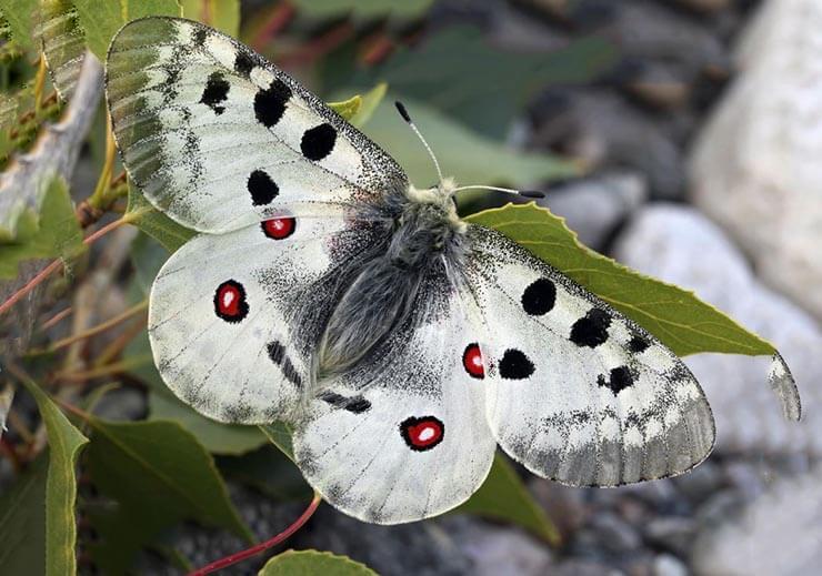 Внешний вид бабочки аполлон