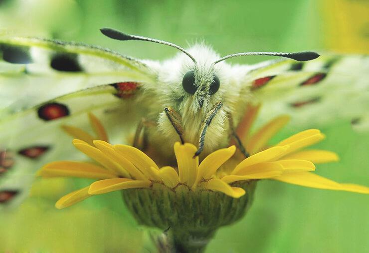 Утренняя прогулка бабочки аполлон