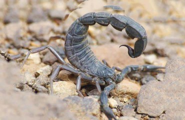 Черный толстохвостый скорпион