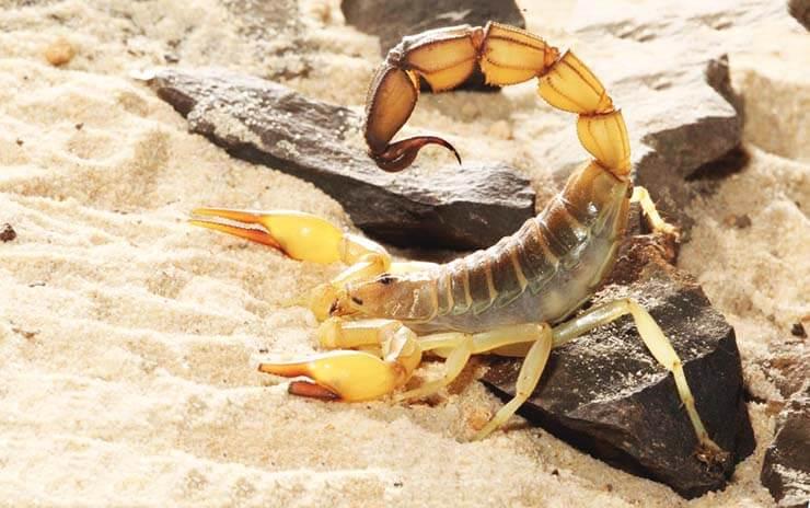 Фото черного толстохвостого скорпиона