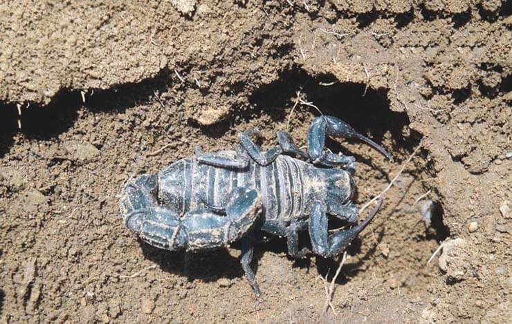 Черный толстохвостый скорпион фото