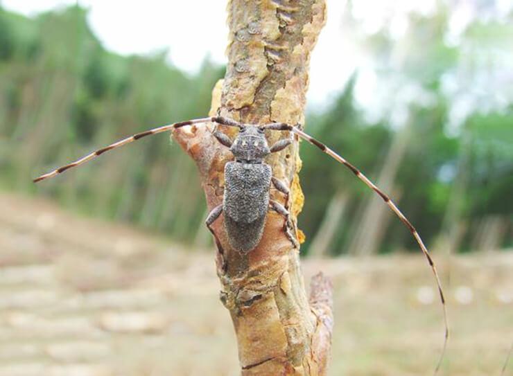 Изображение длинноусого серого усача