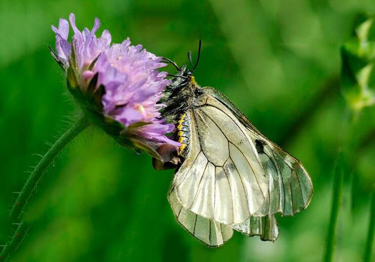 Фото бабочки мнемозина