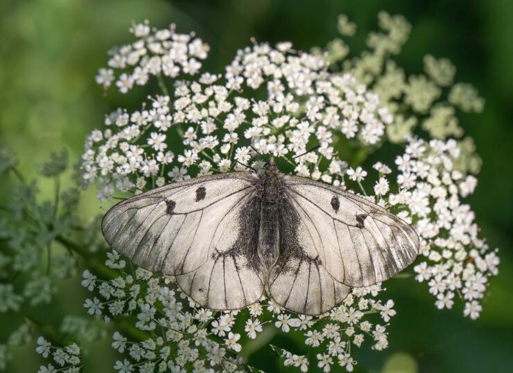 Бабочка мнемозина фото
