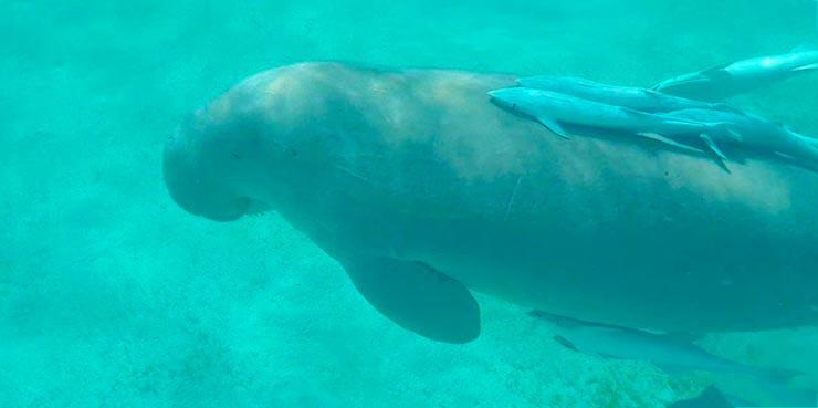 Dugong dugon фото