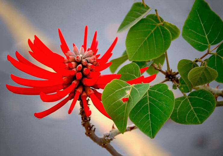 Картинка Эритрина коралловое дерево