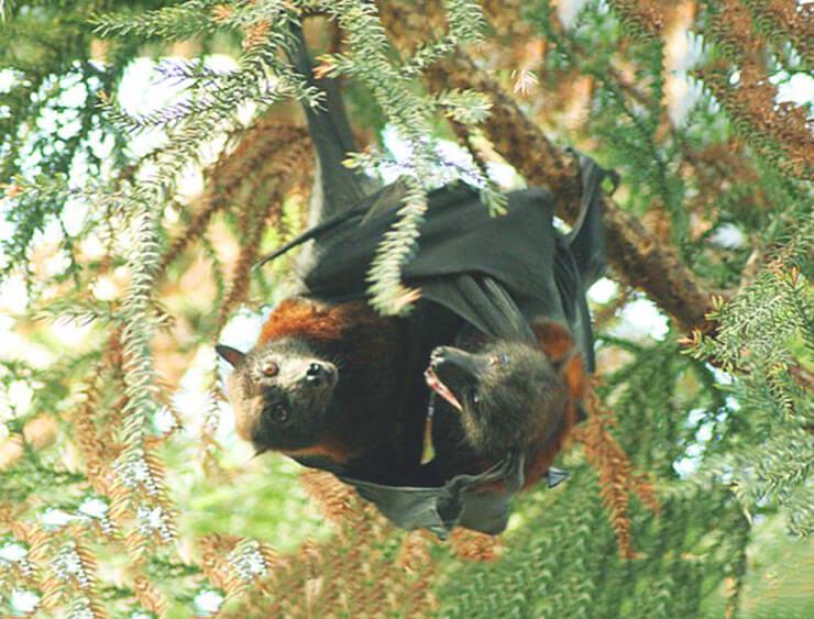 Картинка Pteropus hypomelanus