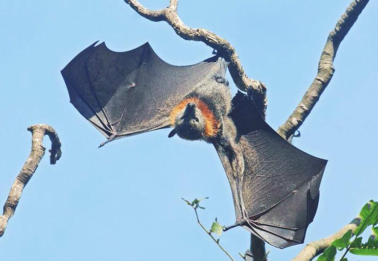 Pteropus hypomelanus фото