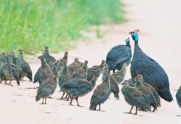 Птенцы обыкновенных цесарок