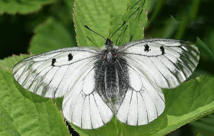Картинка с бабочкой мнемозина