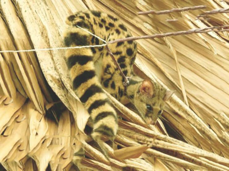 Фото пятнистого линзанга