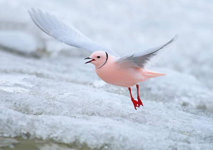 Розовая чайка фото