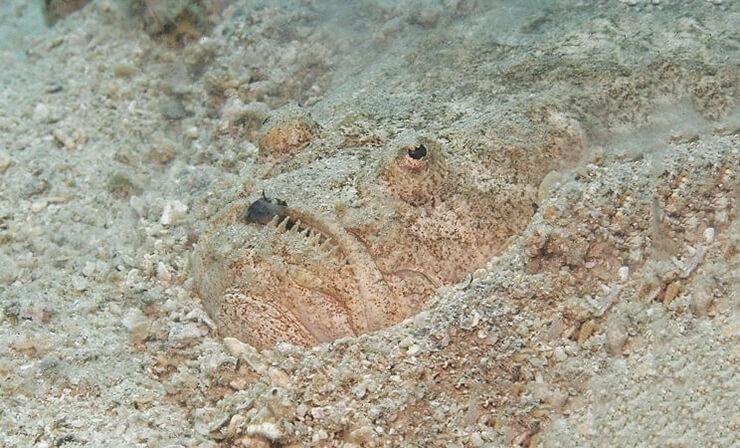 Uranoscopus scaber в песке