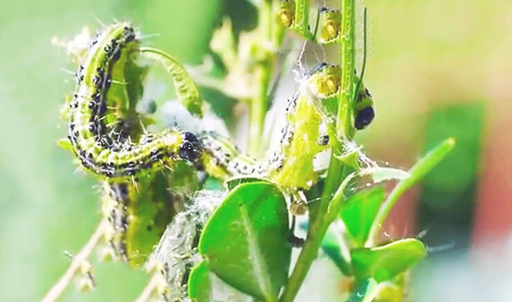 Гусеницы Cydalima perspectalis