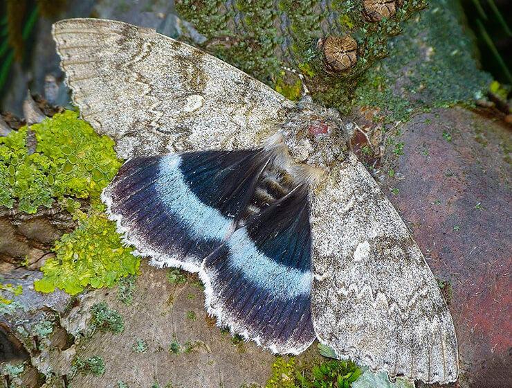 Фото бабочки голубой ленточницы