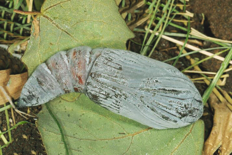 Куколка бабочки голубой ленточницы
