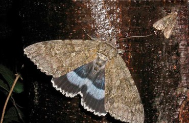 Бабочка голубая ленточница