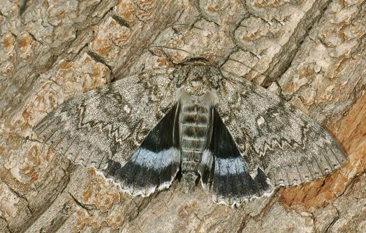 Бабочка голубая ленточница фото