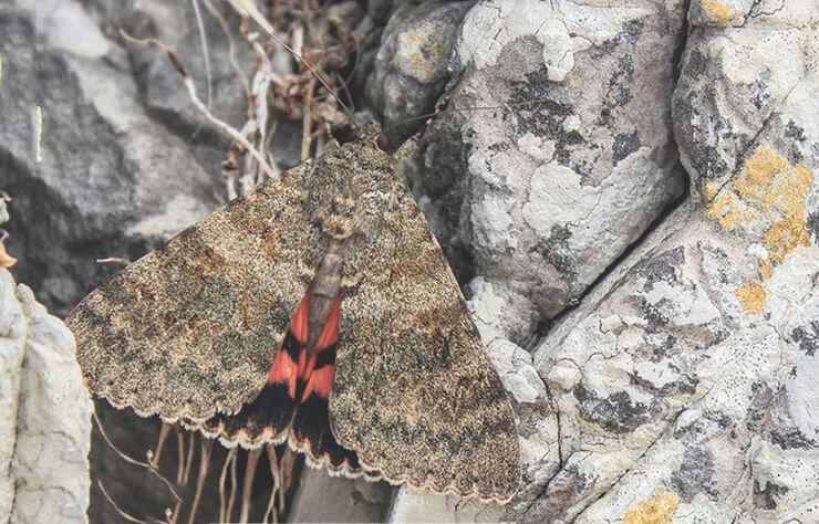 Фото бабочки ленточницы тополевой