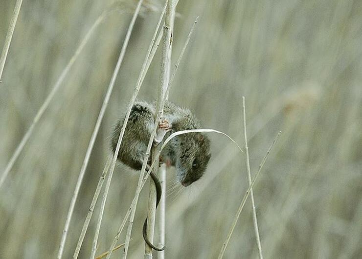 Рисовый болотный хомяк фото