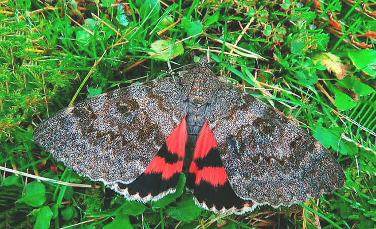 Бабочка ленточница тополевая фото