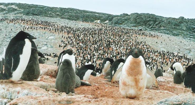 Фото пингвина галапагосского