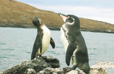 Пінгвін галапагоський