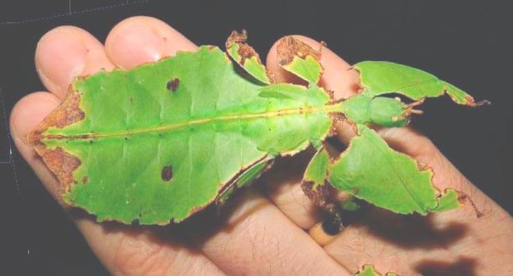 Фото листовидки гигантской